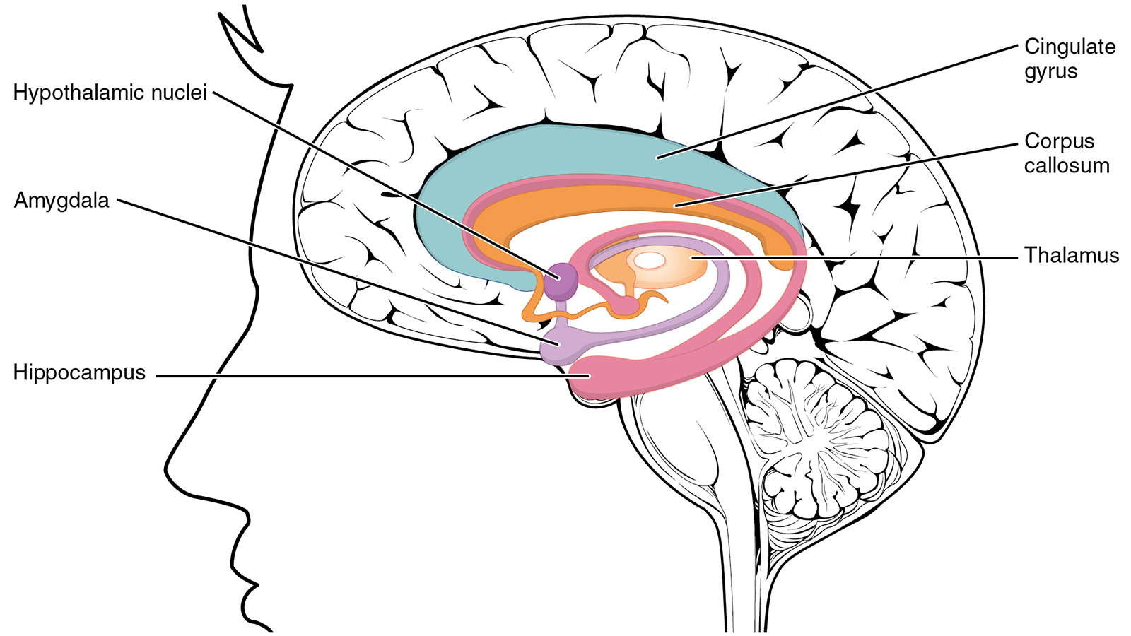 nuclei cervello